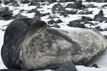 The grey seal has a rest on stones in Antarctica Stock Photo - 8410981
