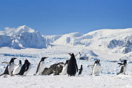 polar station: a large group of penguins having fun in the snowy hills of  Antarctica