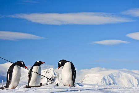 Three identical penguins resting on the top of the hill in Antarctica Stock Photo