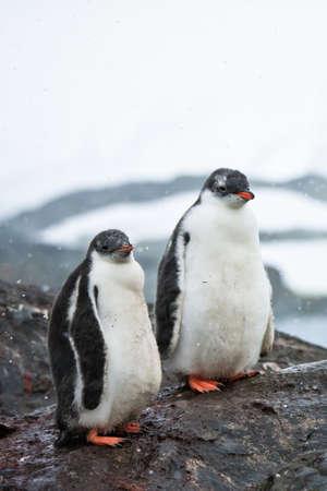 two penguins resting on the stony coast of Antarctica Stock Photo - 8410862