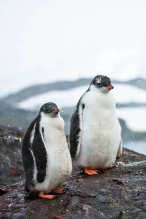 two penguins resting on the stony coast of Antarctica Stock Photo - 8410862