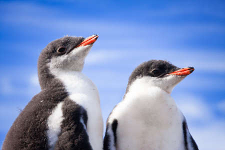 two penguins resting on the coast of Antarctica Stock Photo - 8458565