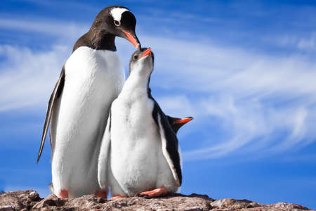 two penguins resting on the stony coast of Antarctica Stock Photo - 8458566