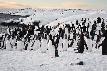 a large group of penguins having fun in the snowy hills of the Antarctic Stock Photo - 8458578