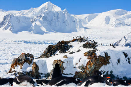 large group of penguins having fun in the snowy hills of the Antarctic photo