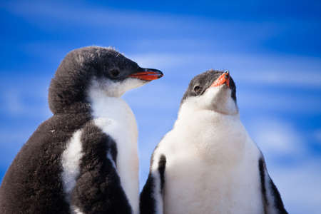 two penguins resting on the coast of Antarctica Stock Photo - 8765407