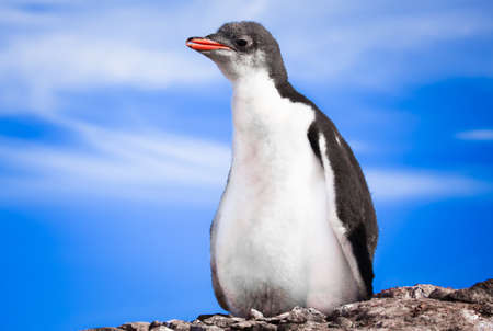 penguin resting on the stony coast of Antarctica Stock Photo - 8765425