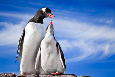funny animal: two penguins resting on the stony coast of Antarctica Stock Photo