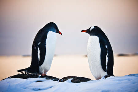 two identical penguins resting on the stony coast of Antarctica photo