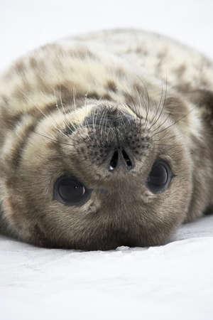 Baby seal close to mom. Antarctica photo