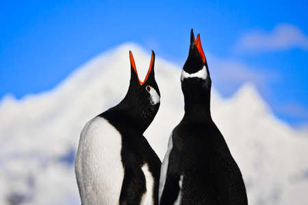 Penguins singing on a rock in Antarctica. Mountains in the background Stock Photo - 8765388