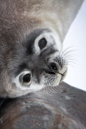 Baby seal close to mom. Antarctica photo