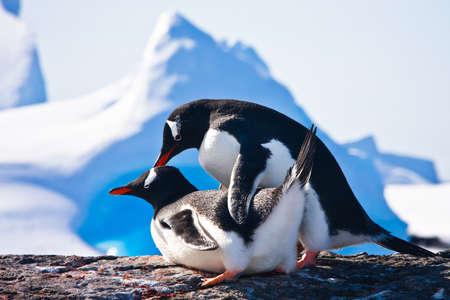 hacer el amor: Dos ping�inos hacen amor sobre una roca, monta�as en segundo plano
