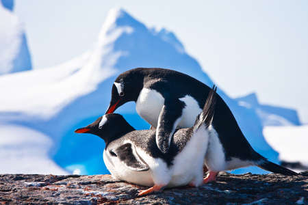 faire l amour: Two penguins make love on a rock, mountains in the background