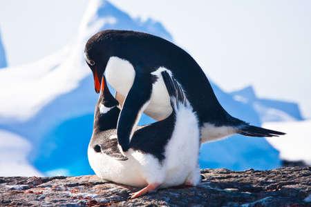 hacer el amor: Dos ping�inos hacen amor sobre una roca, los glaciares en segundo plano
