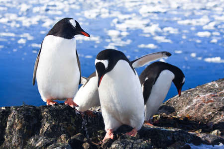 Three identical penguins in Antarctica photo