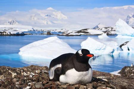 non urban 1: penguin on a stony coast in Antarctica