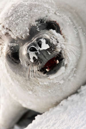 bared teeth: snot-nosed seal angrily looks into the camera