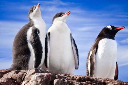 penguins resting on the stony coast of Antarctica Stock Photo - 8881611