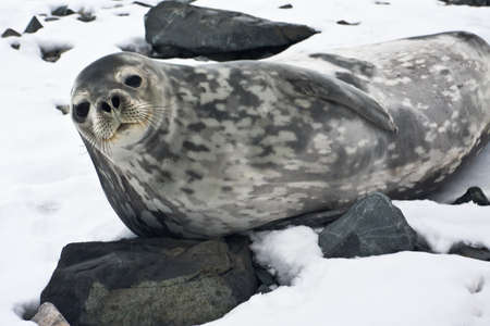 weddell: The grey seal has a rest on stones in Antarctica Stock Photo