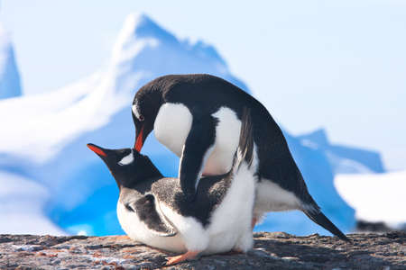Two penguins make love on a rock, glaciers in the background