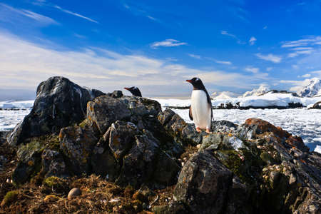 protects: penguin protects its nest while standing on a rock