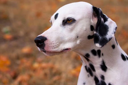 Dalmatian dog portrait yellow autumn background photo