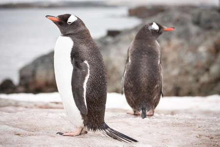 penguins standing on the rocks in the Antarctic photo