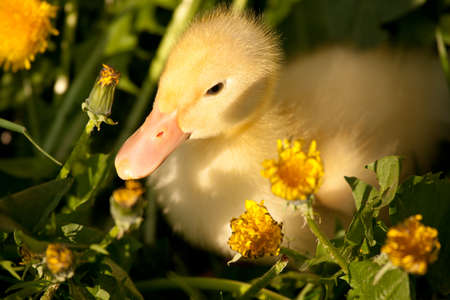 Small yellow duckling outdoor on green grass photo