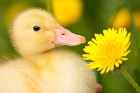 yellow duckling: Little yellow duckling with dandelion on green grass