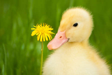 Little yellow duckling with dandelion on green grass