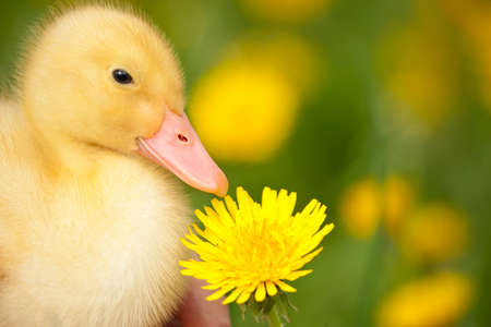Little yellow duckling with dandelion on green grass photo
