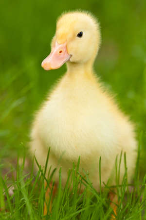 yellow duckling: Little yellow duckling on the green grass