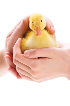 Little yellow duckling in human hands