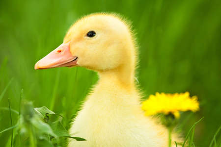 Little duckling photo