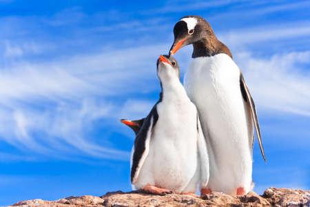 two penguins resting on the stony coast of Antarctica Stock Photo