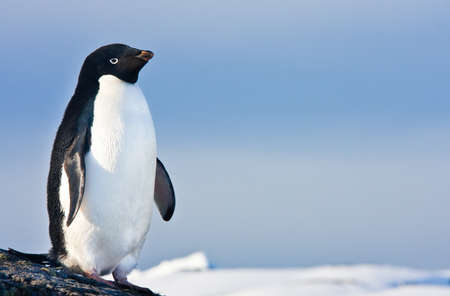 black and white penguin on the white snow Stock Photo