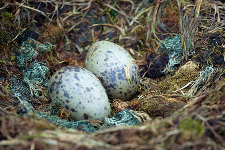 two penguin eggs in a nest of straw photo