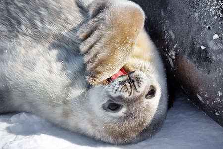 Baby seal close to his mom. Antarctica photo