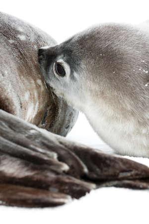 Baby seal close to his mom. Antarctica photo