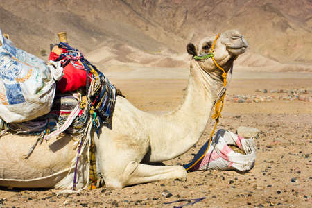 tired camel lying resting in a desert photo
