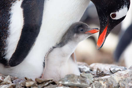 animal feed: penguin in its nest to protect her cub. Antarctica Stock Photo