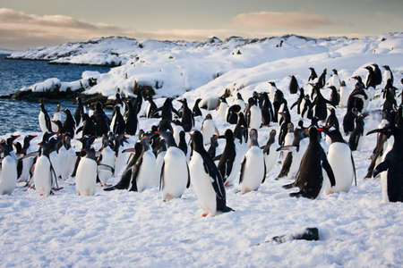 penguin: a large group of penguins having fun in the snowy hills of the Antarctic Stock Photo