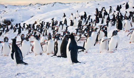 arctic landscape: a large group of penguins having fun in the snowy hills of the Antarctic Stock Photo