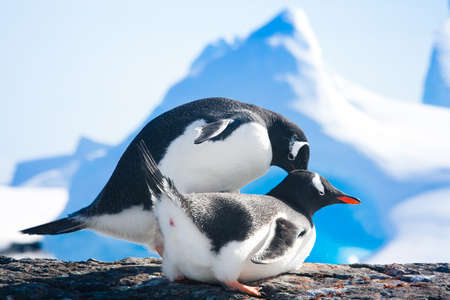 gentoo: penguins resting on the stony coast of Antarctica