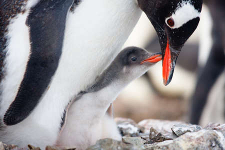 feed up: penguin in its nest to protect her cub. Antarctica Stock Photo