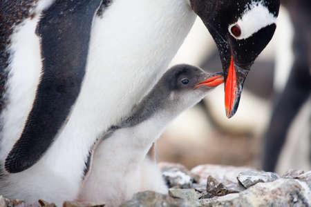 pinguins: pingouin dans son nid pour prot�ger son petit. L'Antarctique