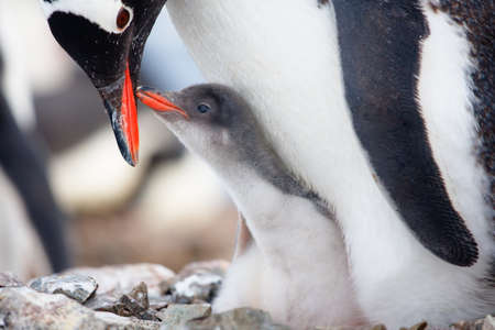 penguin in its nest to protect her cub. Antarctica Stock Photo