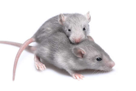 Gray mice resting on a  white background Stock Photo