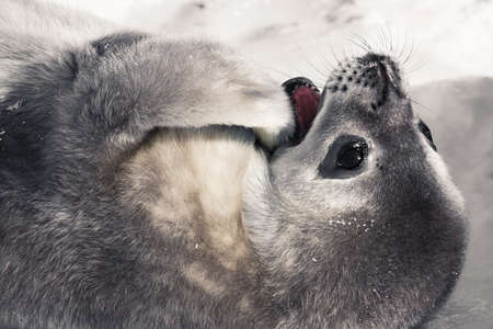 baby seal in Antarctica photo